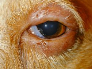 Dog Swollen Eyelid Home Treatment