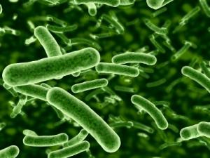 Probiotic-Bacteria