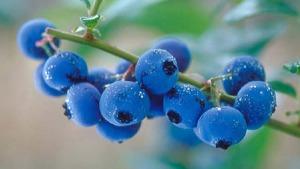 myrtilo-blueberries3