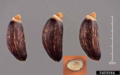 Silib. seeds