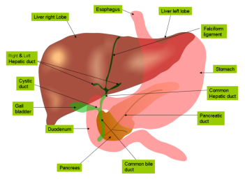 anatomy_of_liver_and_gall_bladder