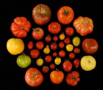 bulding-tomatoes