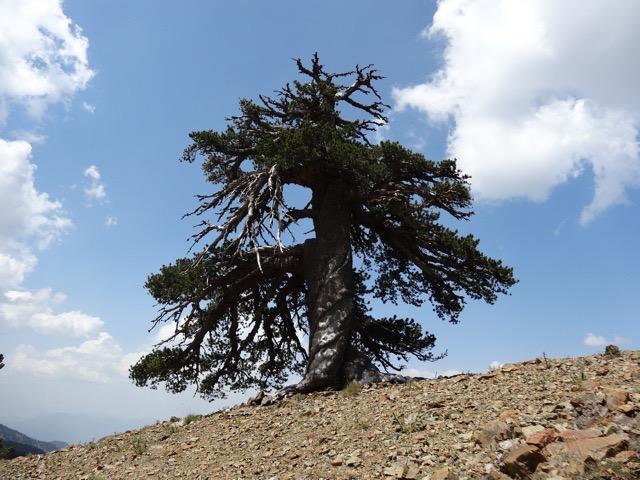 ad. tree 1